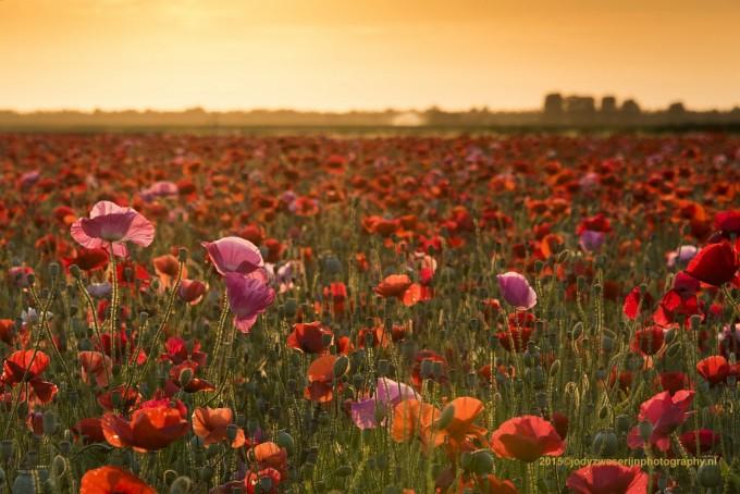 Bloemenvelden in Brabant en het spel van het licht