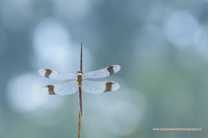 Libellen, juffers en vlinders door de macrolens