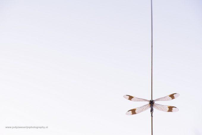 Bandheidelibellen vanuit mijn fantasie
