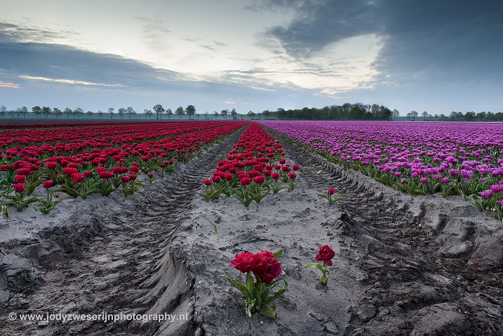 Op zoek naar lijnen, kleur en licht tussen de tulpen