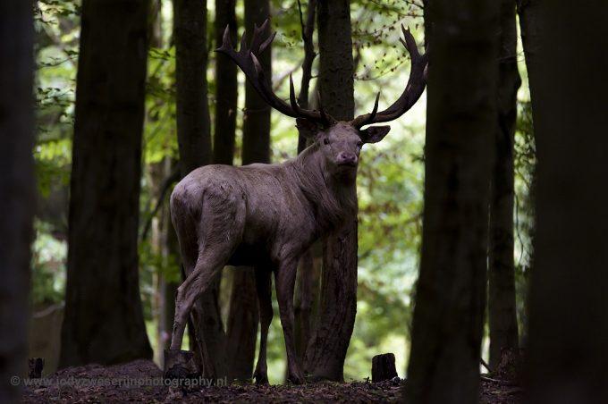 Edelhertenbronst, wie heeft de grootste drive: hert of fotograaf?