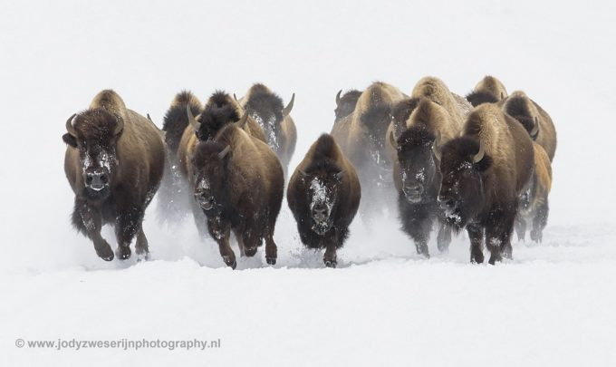 Portraiting the Yellowstone bison