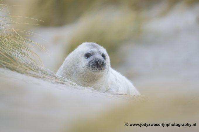 De zeehondenpuppyfotografie schaamte voorbij