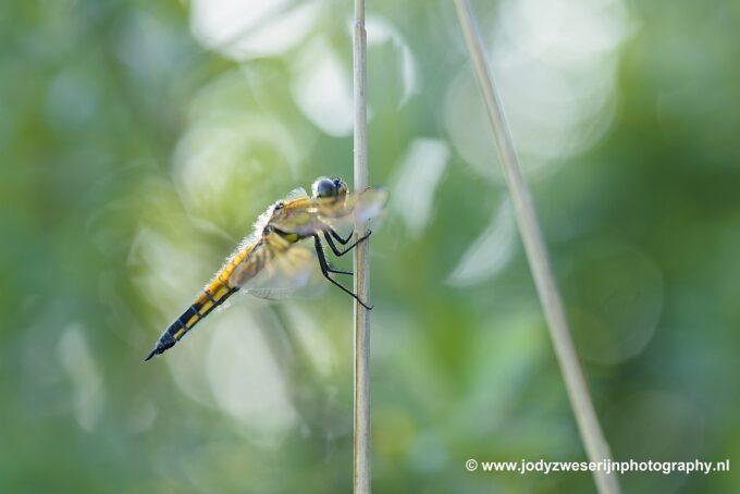 Wat ik zoek tijdens het fotograferen van juffers, libellen en vlinders